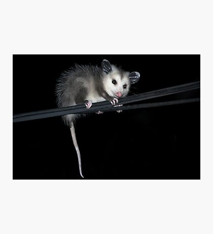 Baby Opossum Doing High Wire Act Photographic Print