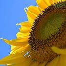 sunflower by fabreplus