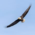 Bald Eagle 2019-9 by Thomas Young
