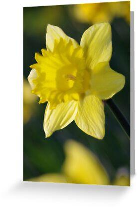 Daffodil 3 by Ra12