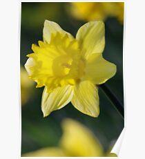 Daffodil 3 Poster