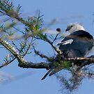 Swallowtail by Karen  Moore