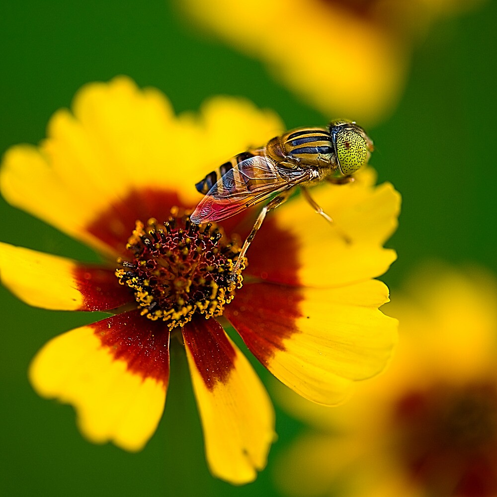 Hoverfly and Love for Colors by Mukesh Srivastava