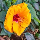Oh for a hibiscus hedge by Bryan D. Spellman