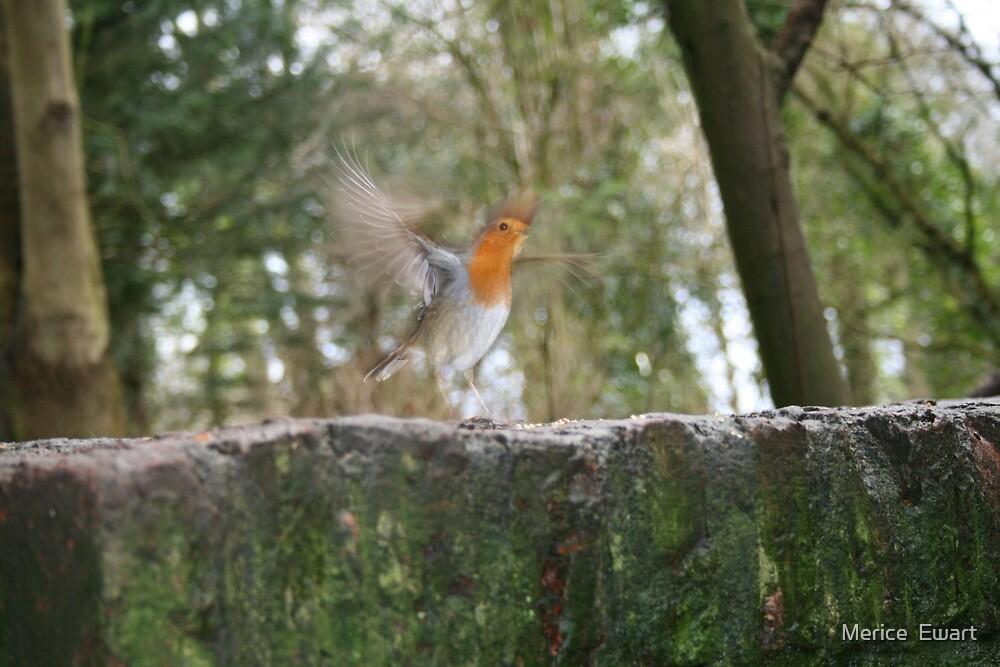 Robin on the run by Merice  Ewart
