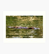 Platypus at surface of creek Art Print