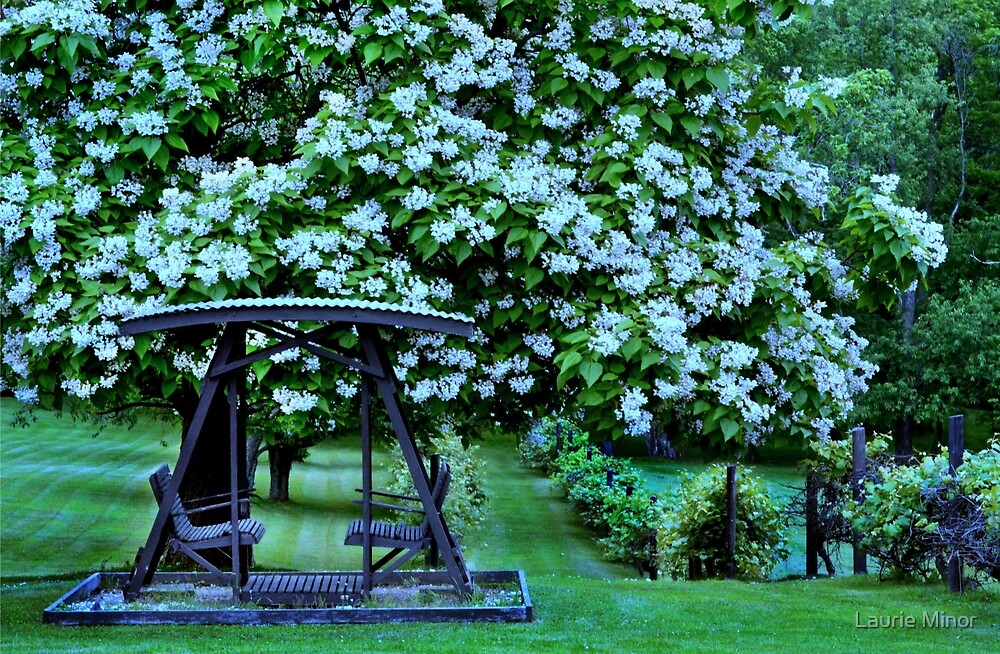 Catalpa tree in bloom by Laurie Minor