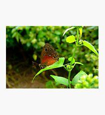 Saona Ringlet Butterfly Photographic Print