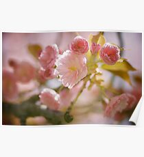 Cherry Blossoms from Queens Botanical Garden Poster