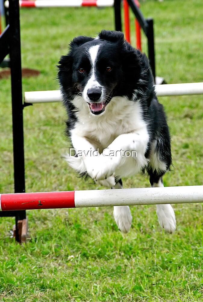 Dog jumping hurdles by David Carton