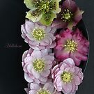 Hellebore by Alyson Fennell
