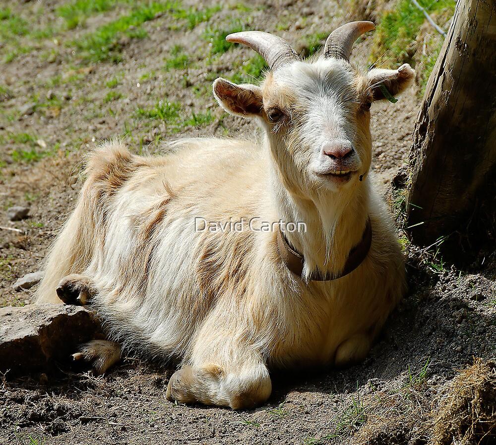 Goat in Farmyard, Devon, UK by David Carton
