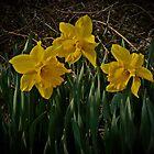 Three Little Daffodils  by MGStrack