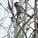 Prairie Chickadee by Lisa Sall