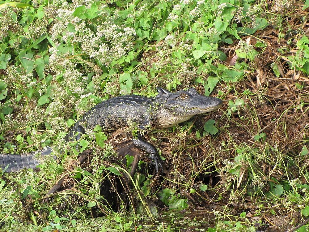 Gator Hangin Out by Lori Hark
