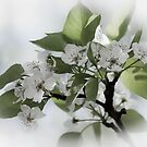 flowering pear by Phillip M. Burrow