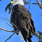 Bald Eagle at Rest  by lorilee
