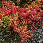The Many Colors of Fall Vine Maple by Charles & Patricia   Harkins ~ Picture Oregon