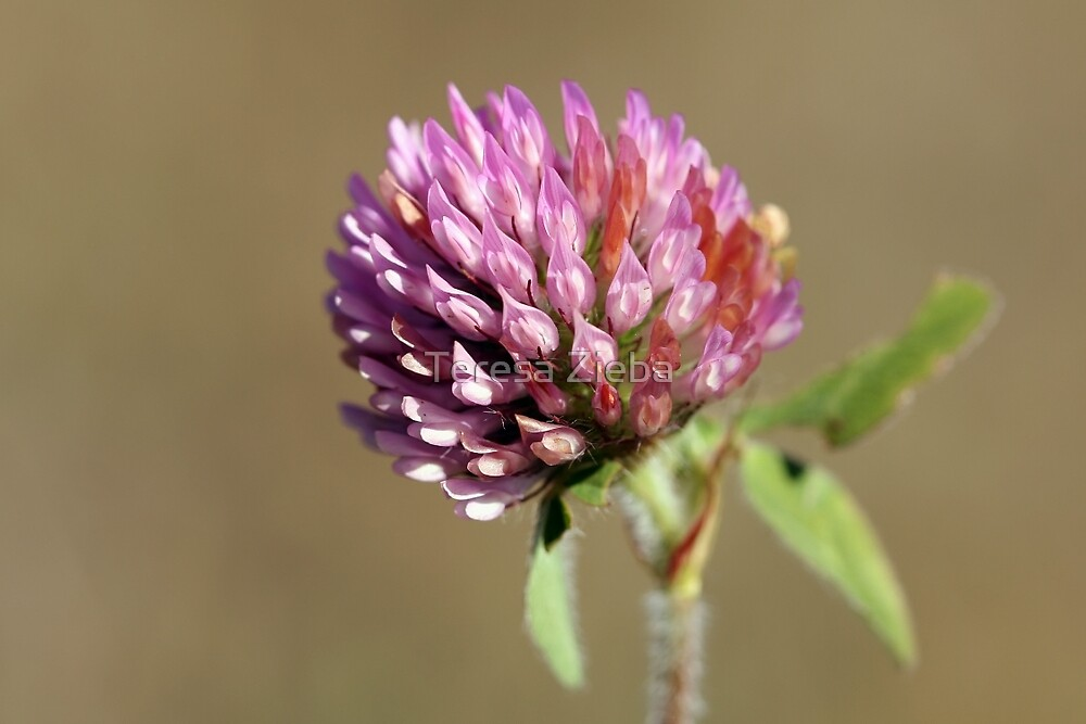Red Clover by Teresa Zieba