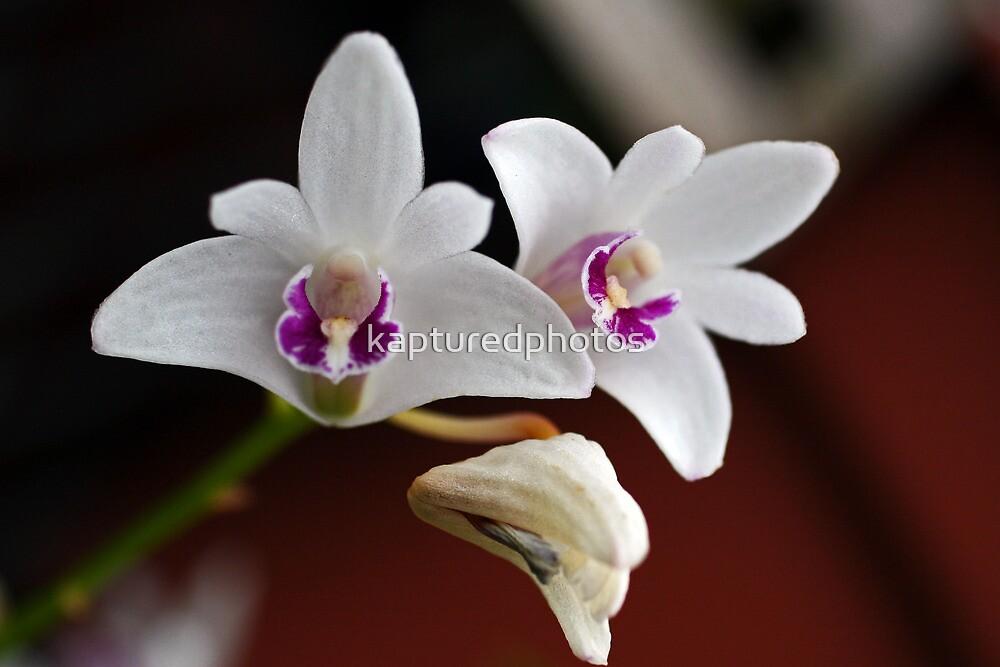 sue pink rock dendrobium, orchid by kapturedphotos