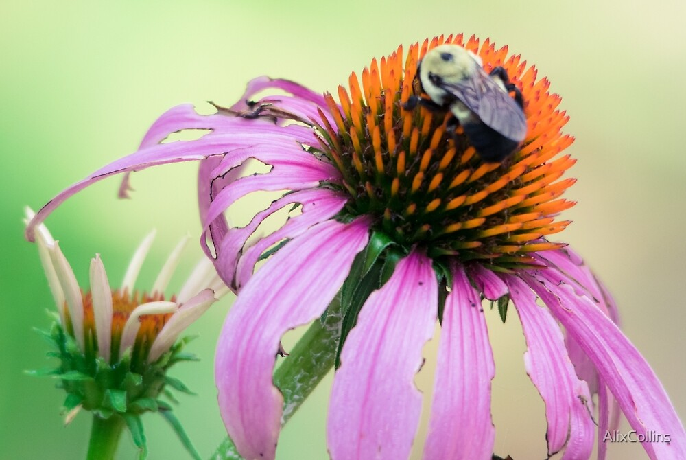 BumbleBee on Flower by AlixCollins