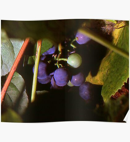Hidden Grapes Poster