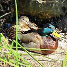 Mallard Ducks ~ Pair by Kimberly Chadwick