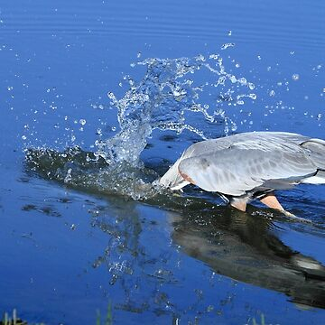 Great Blue Heron Diving For Fish by DARRINSWORK