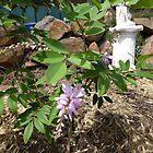 Australian Native Indigofera decora, Summer Wisteria, my garden. Tea Tree Gully. by RitaBlom