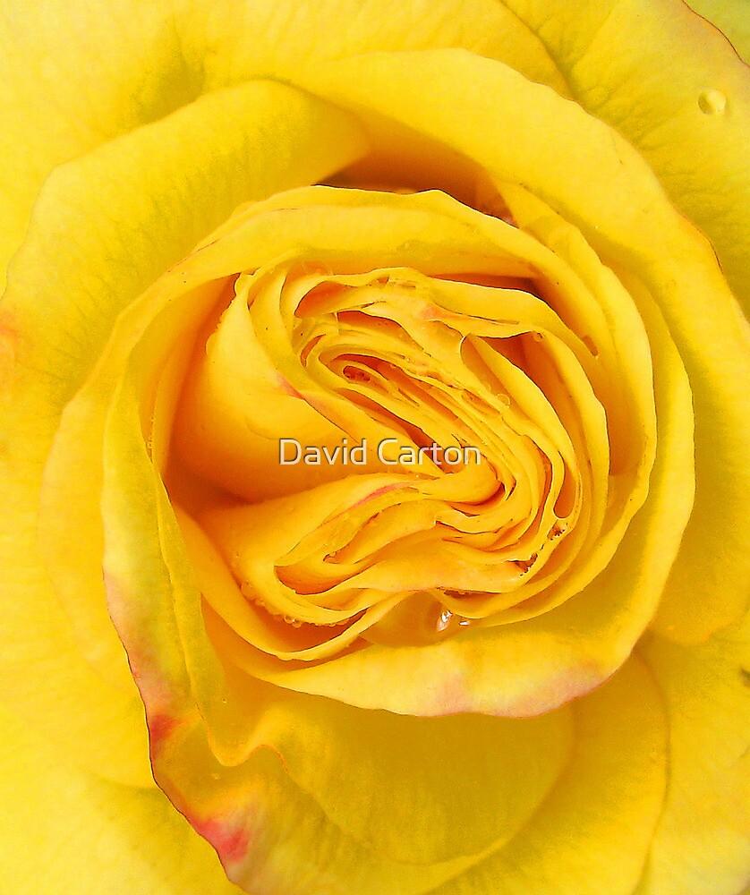 Yellow rose close up by David Carton