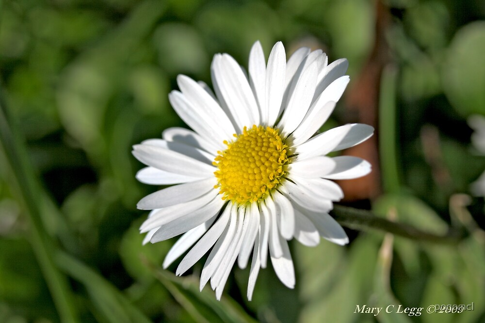 Common Daisy,  Bellis perennis by pogomcl