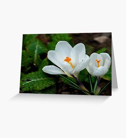 White Crocus  (Spring Bulbs) Greeting Card