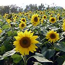 sunflower patch by Dan Chang