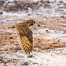 Galapagos Owl in Flight by Richard Shakenovsky