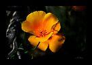 Mexican Poppy #2 by Vicki Pelham