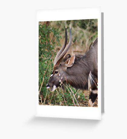 NJALA - Tragelaphus angasii - a handsome, striking antelope Greeting Card