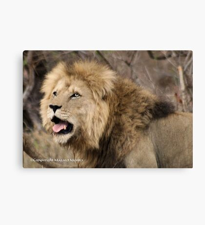 A CALL IN THE WILDERNESS... THE LION, Panthera leo Canvas Print