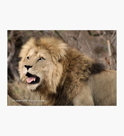 A CALL IN THE WILDERNESS... THE LION, Panthera leo Photographic Print