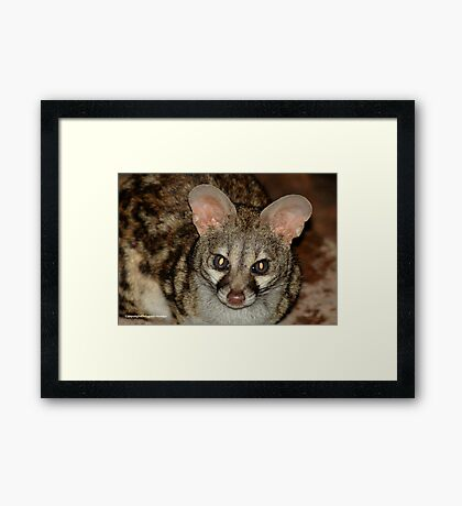 THE LARGE  SPOTTED GENET - Genetta tigrina Framed Print
