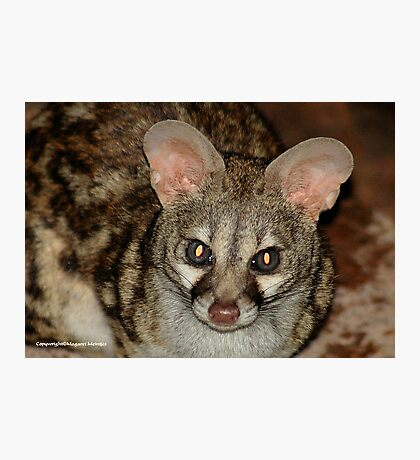 THE LARGE  SPOTTED GENET - Genetta tigrina Photographic Print