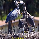 Blue herons in contact by Bigart32