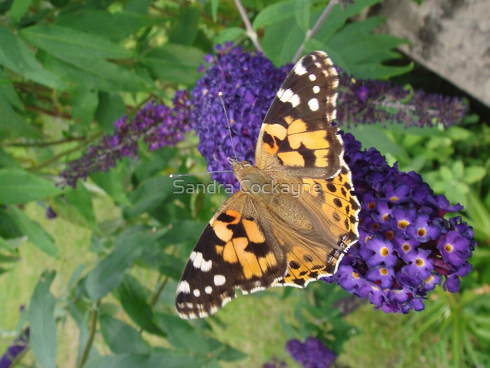 Painted Lady Butterfly resting on Buddleia by Sandra Cockayne