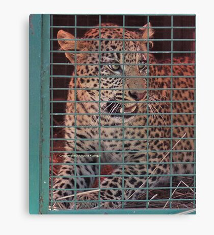 THE LEOPARED THAT WAS CAPTURED IN THE 'TRAP' Canvas Print