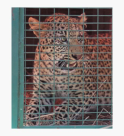 THE LEOPARED THAT WAS CAPTURED IN THE 'TRAP' Photographic Print
