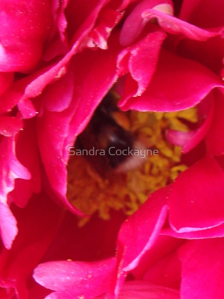 A Friendly Visitor In The Heart Of A Peony  by Sandra Cockayne