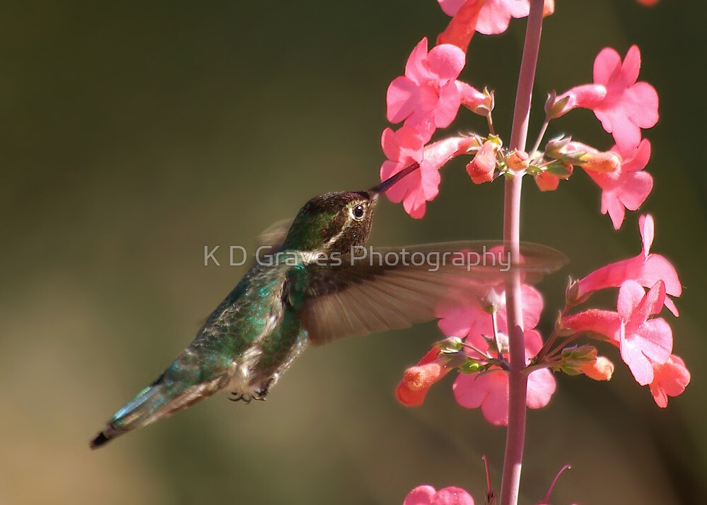 Anna's  Hummingbird with Perry's Penstemon  by K D Graves Photography