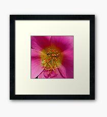 'Face of the Moss Rose' Framed Print