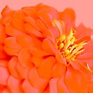 Spring blooming flower on pink by by-jwp