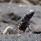 Galapagos Islands: Lava Lizard by tpfmiller