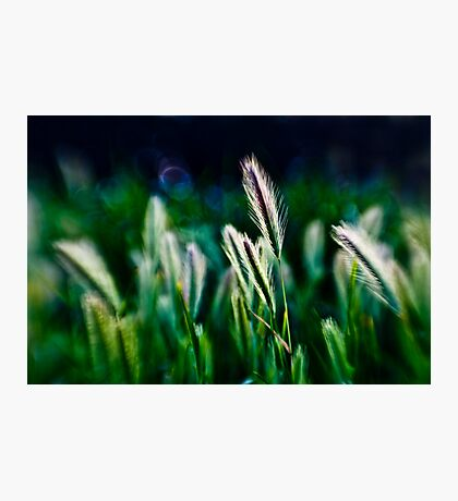 out of blur wheat Photographic Print
